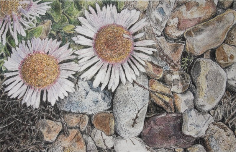 Beach Aster, Shoreham, Coloured pencil on paper - 15 x 26 cm