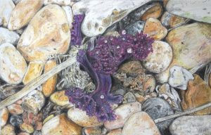 Sea Kale, Shoreham, Coloured pencil on paper - 15 x 26 cm