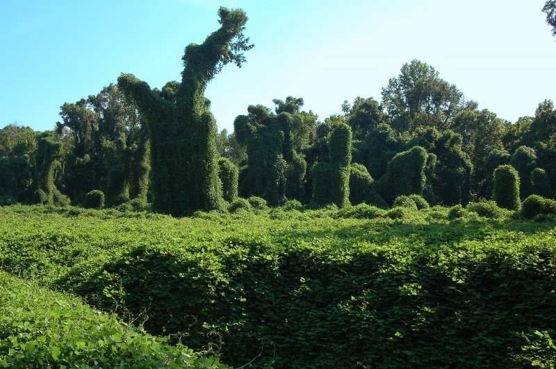 Kudzu covered field near Port Gibson, Mississippi, USA