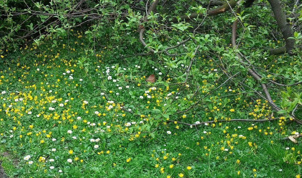 Daisies and Celandine